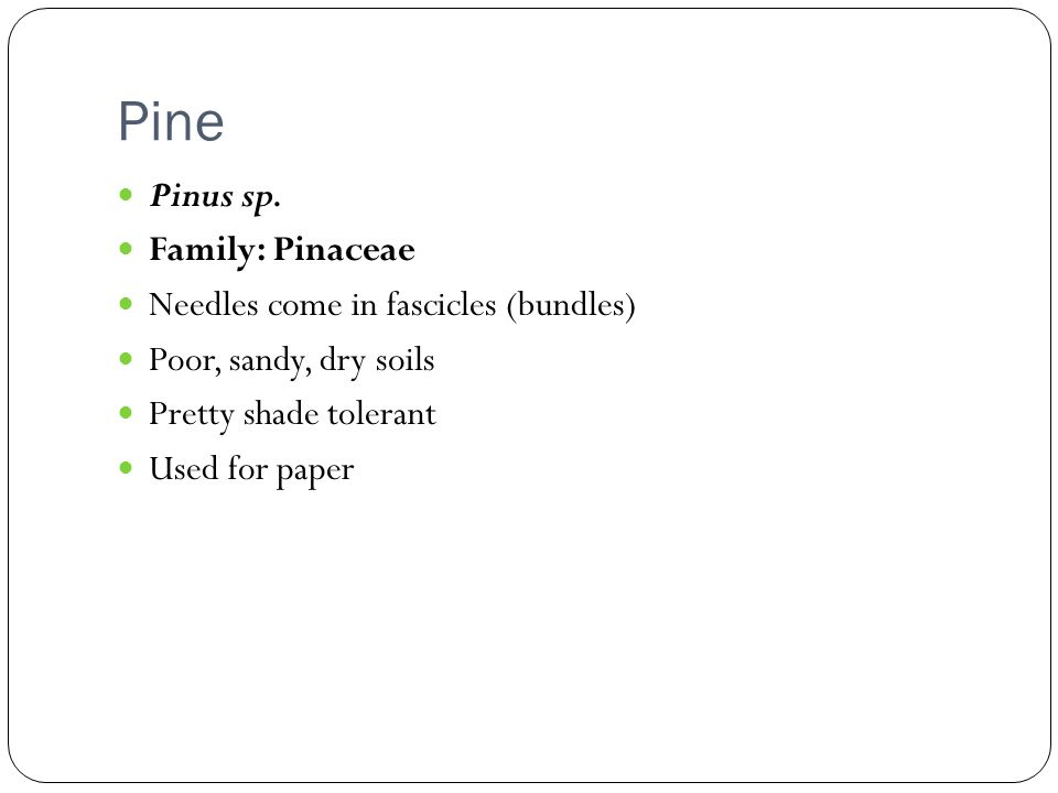 Pine Pinus sp. Family: Pinaceae Needles come in fascicles (bundles)