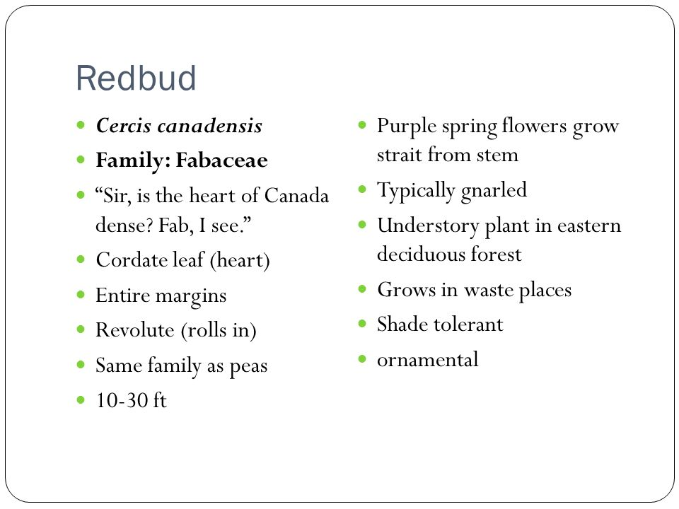 Redbud Cercis canadensis Purple spring flowers grow strait from stem