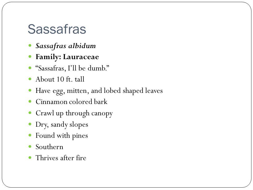 Sassafras Sassafras albidum Family: Lauraceae