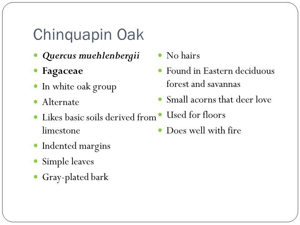 Chinquapin Oak Quercus muehlenbergii No hairs Fagaceae