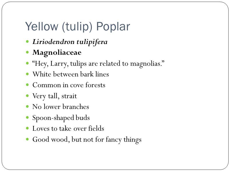 Yellow (tulip) Poplar Liriodendron tulipifera Magnoliaceae