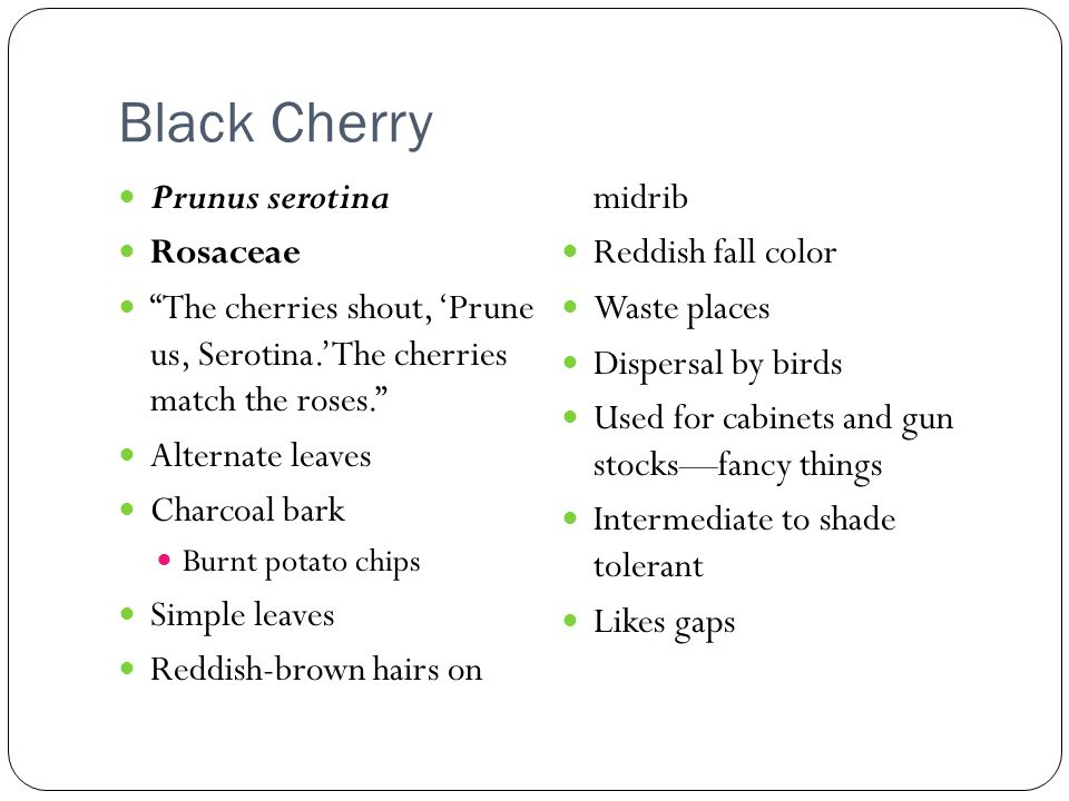 Black Cherry Reddish-brown hairs on midrib Prunus serotina Rosaceae