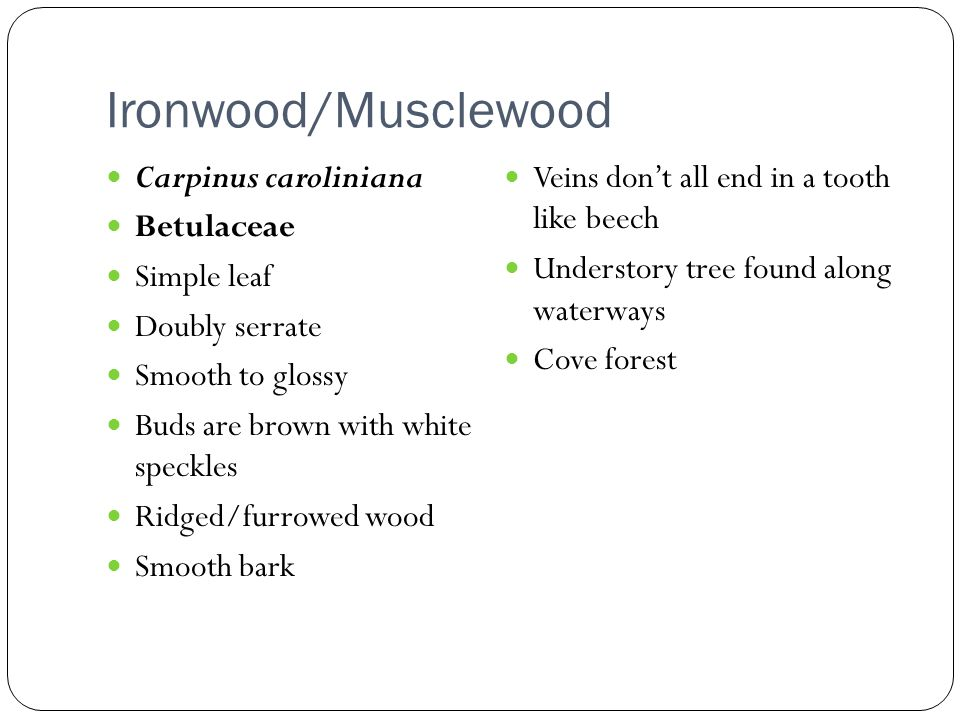 Ironwood/Musclewood Carpinus caroliniana