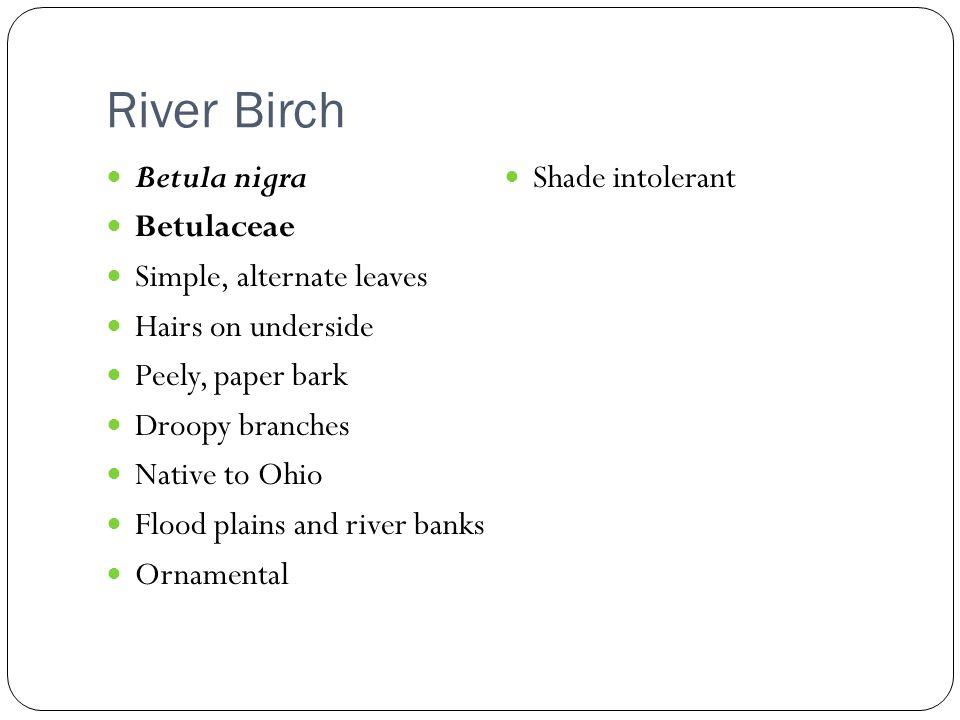 River Birch Betula nigra Shade intolerant Betulaceae