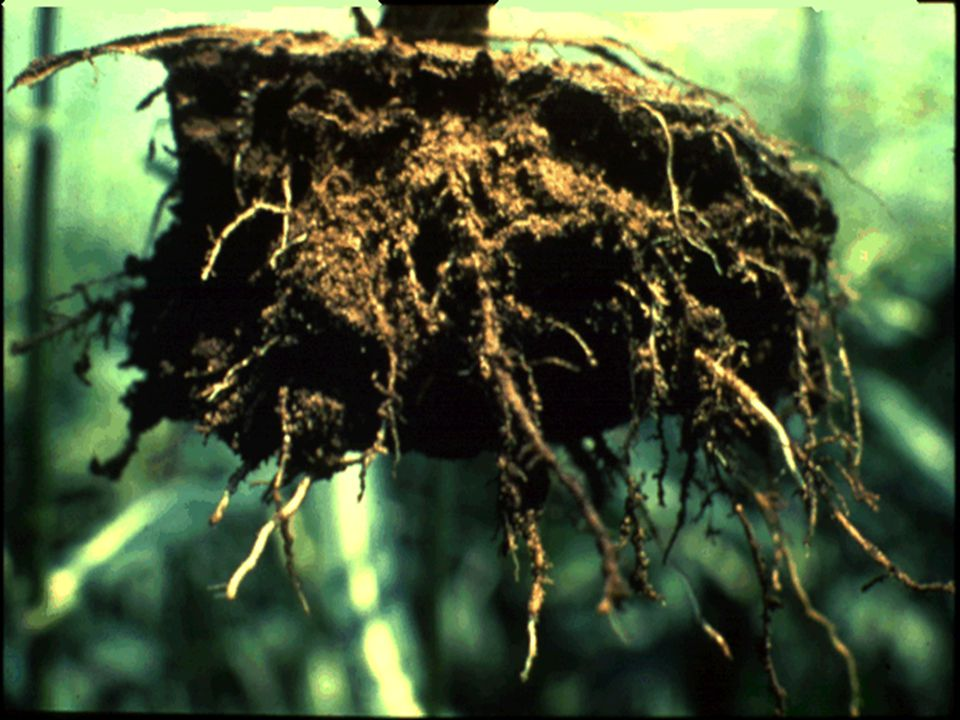 30. Here's another example of restricted root growth as a result of compaction.