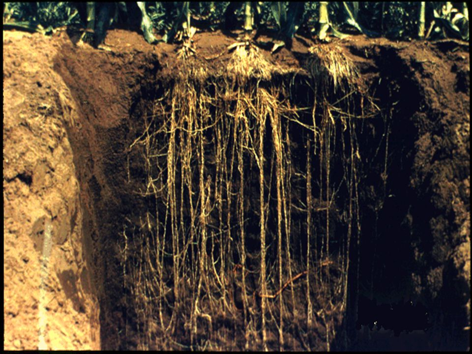31. This shows root development in corn in soils with no restrictive layers.