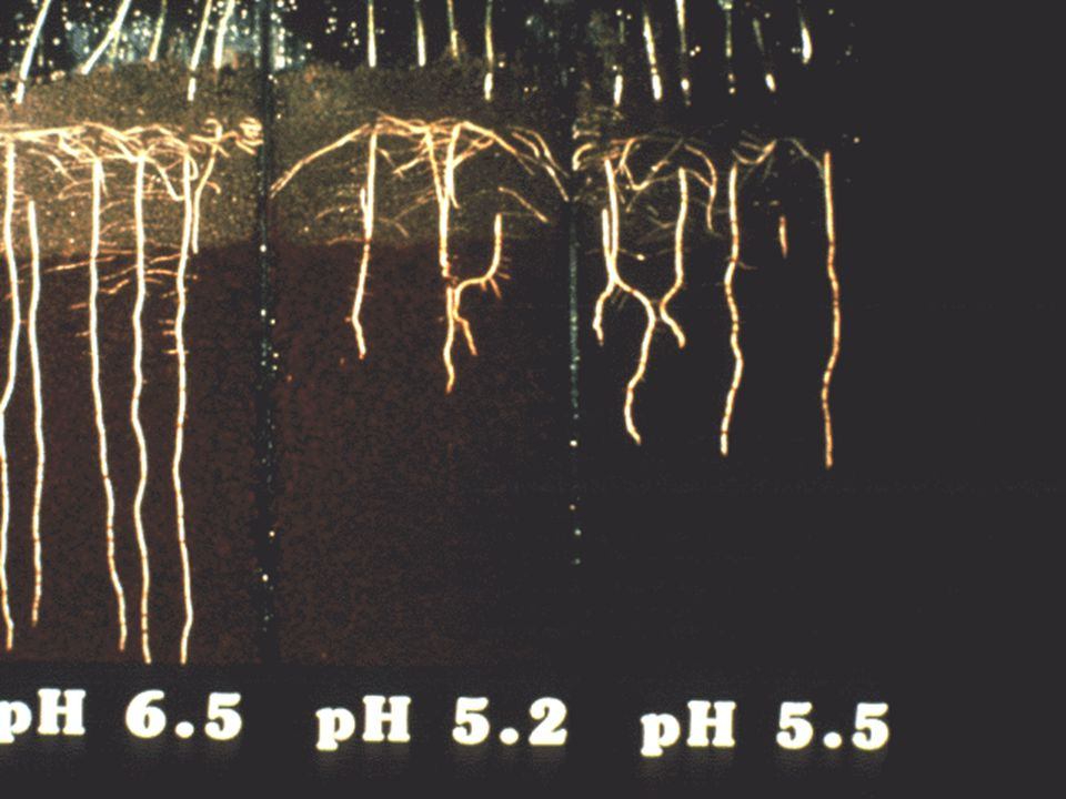 63. Low soil pH (high acidity levels) affects root development in plants.