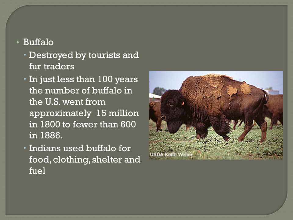 Buffalo Destroyed by tourists and fur traders