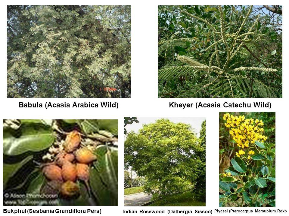 Babula (Acasia Arabica Wild) Kheyer (Acasia Catechu Wild)