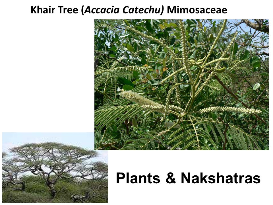 Khair Tree (Accacia Catechu) Mimosaceae