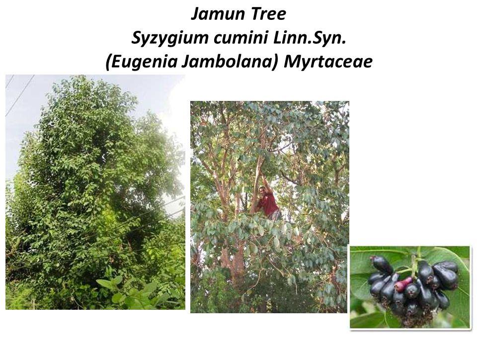 Jamun Tree Syzygium cumini Linn.Syn. (Eugenia Jambolana) Myrtaceae