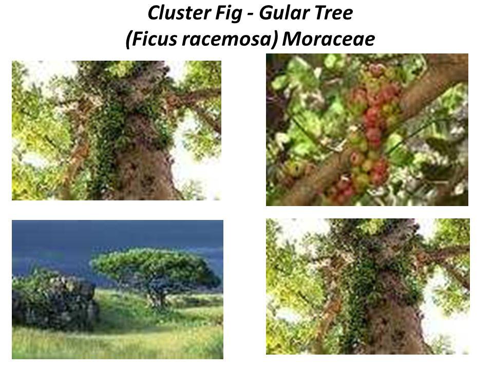Cluster Fig - Gular Tree (Ficus racemosa) Moraceae