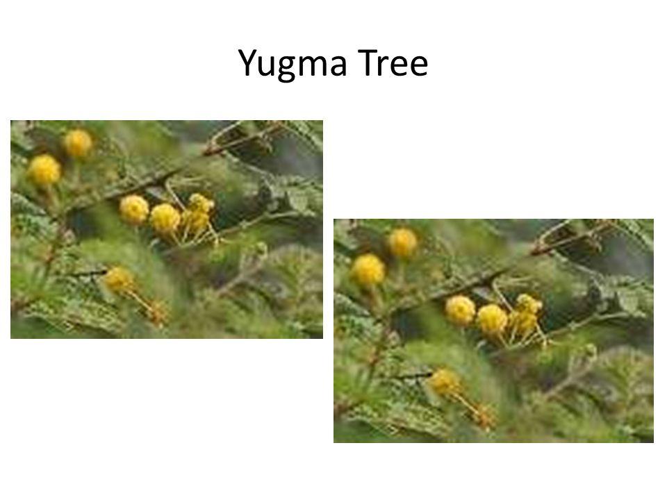 Yugma Tree