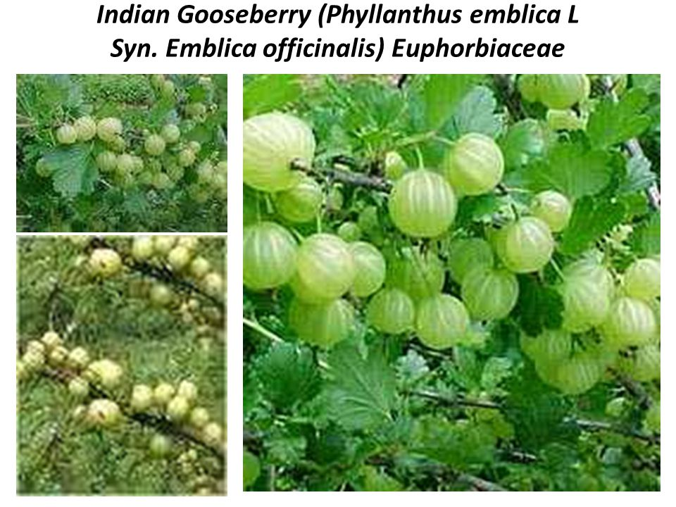 Indian Gooseberry (Phyllanthus emblica L Syn