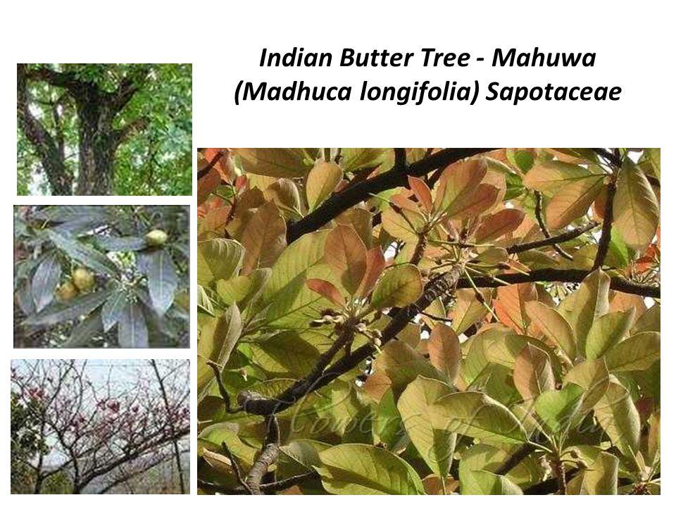 Indian Butter Tree - Mahuwa (Madhuca longifolia) Sapotaceae