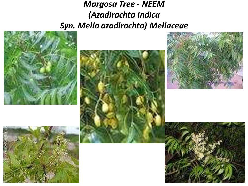 Margosa Tree - NEEM (Azadirachta indica Syn
