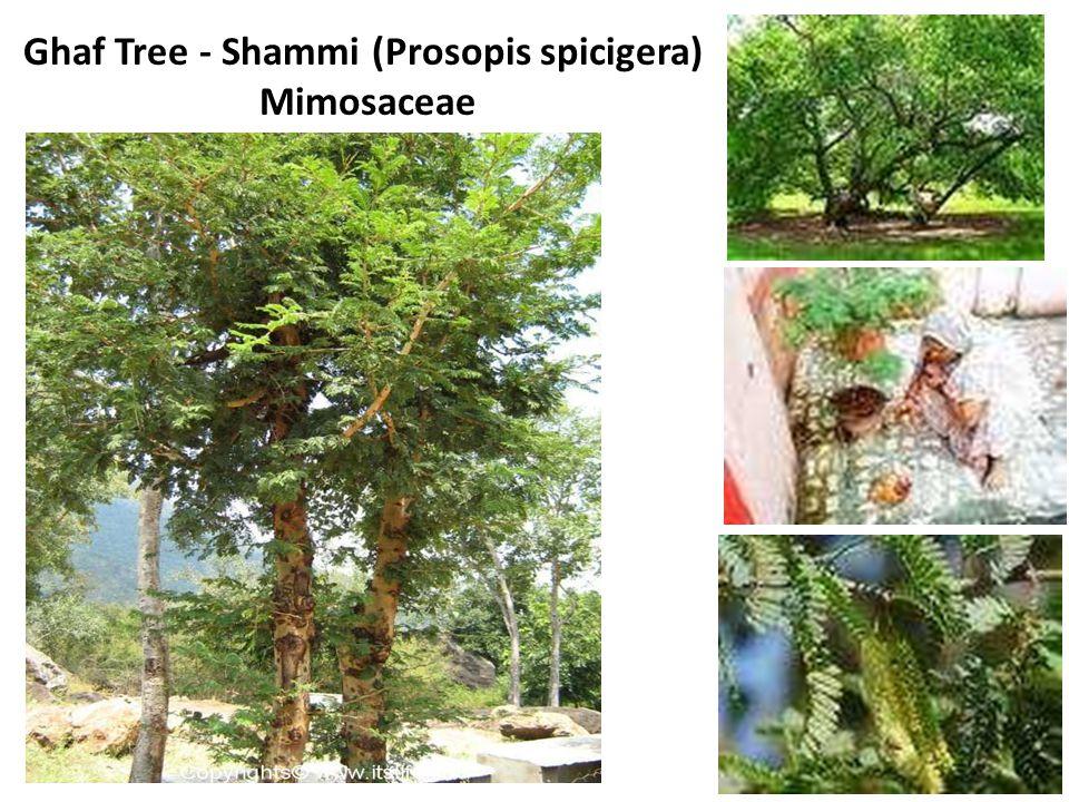 Ghaf Tree - Shammi (Prosopis spicigera) Mimosaceae