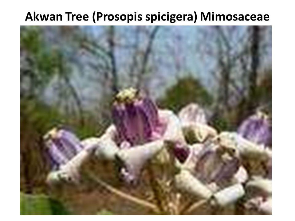 Akwan Tree (Prosopis spicigera) Mimosaceae