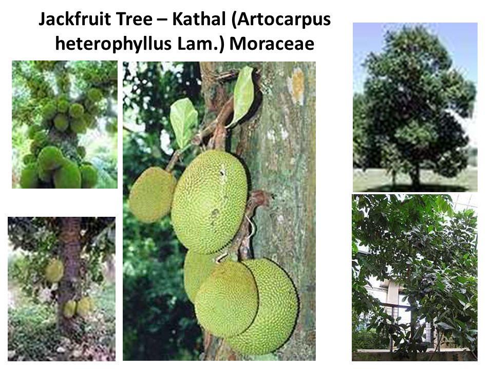 Jackfruit Tree – Kathal (Artocarpus heterophyllus Lam.) Moraceae