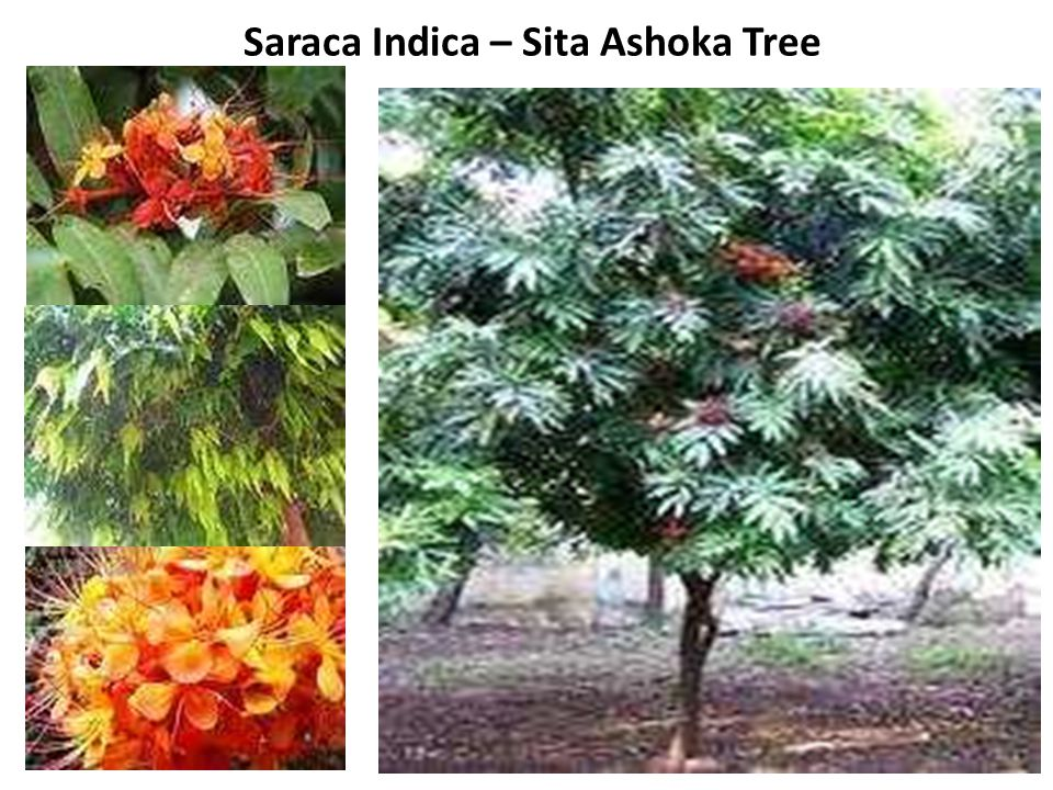 Saraca Indica – Sita Ashoka Tree