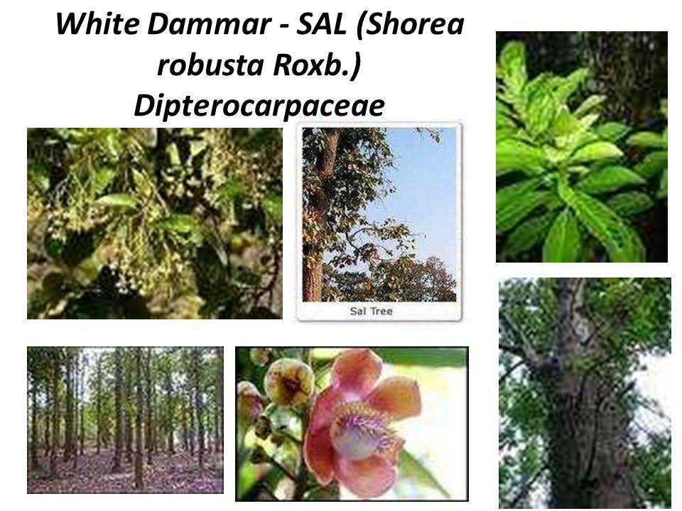 White Dammar - SAL (Shorea robusta Roxb.) Dipterocarpaceae