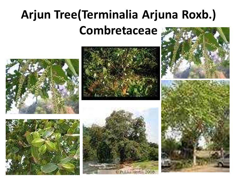 Arjun Tree(Terminalia Arjuna Roxb.) Combretaceae