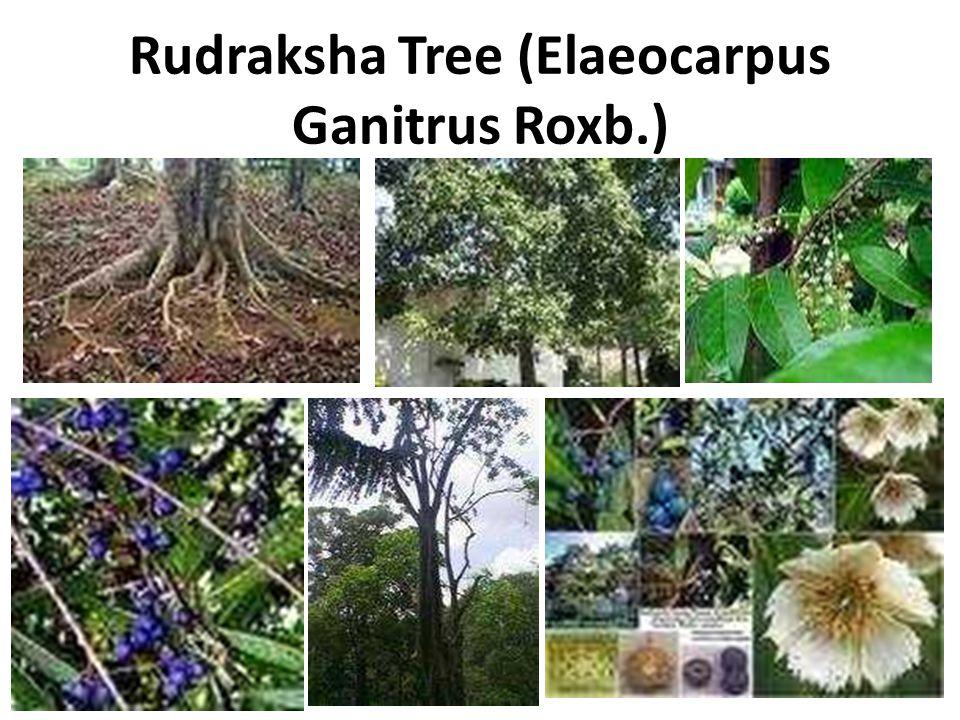 Rudraksha Tree (Elaeocarpus Ganitrus Roxb.)