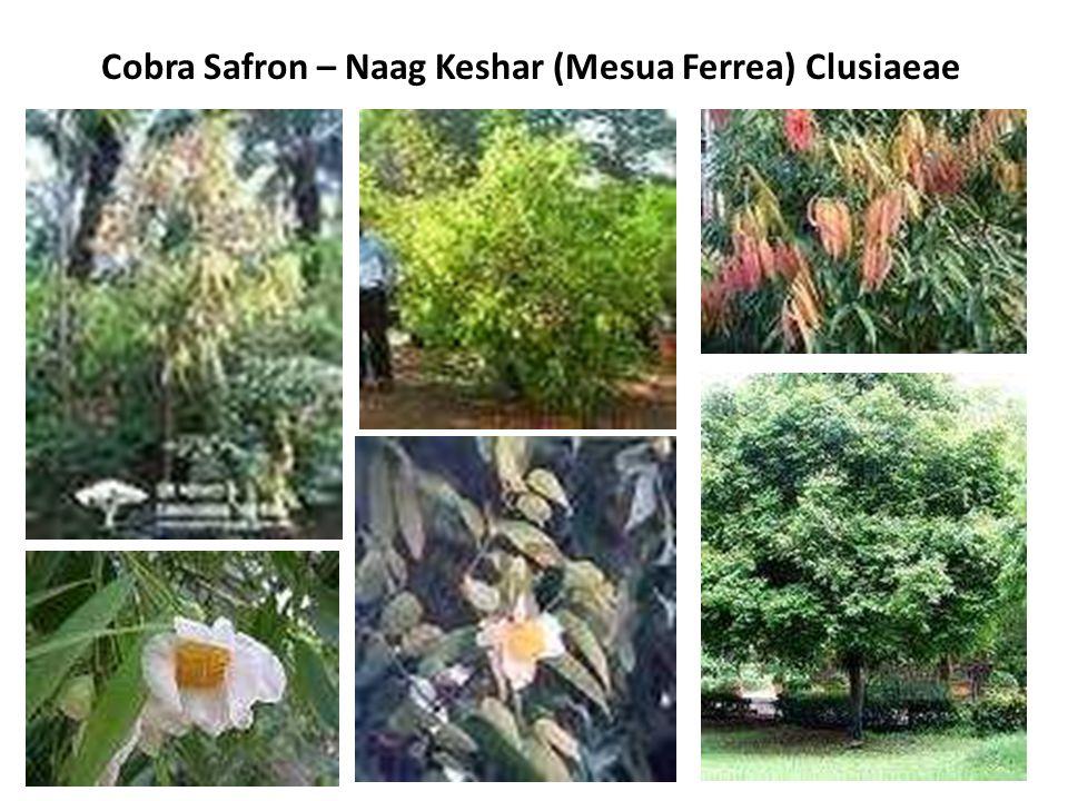 Cobra Safron – Naag Keshar (Mesua Ferrea) Clusiaeae