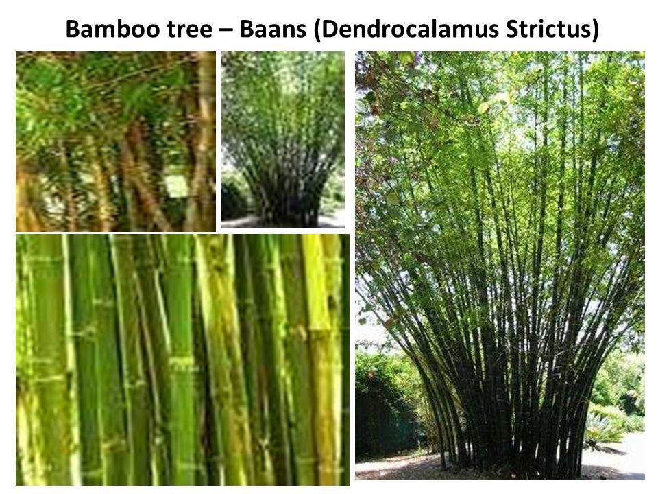 Bamboo tree – Baans (Dendrocalamus Strictus)