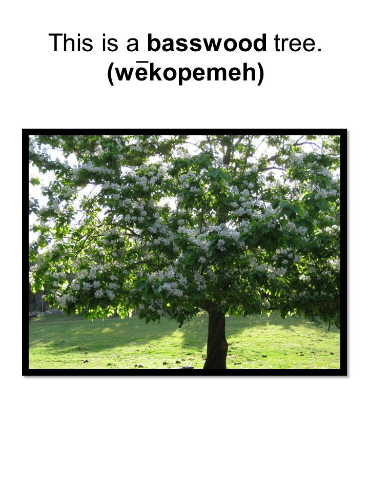 This is a basswood tree. (wekopemeh) _