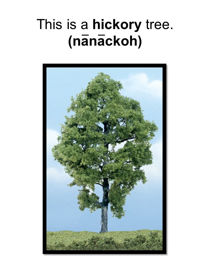 This is a hickory tree. (nanackoh) _