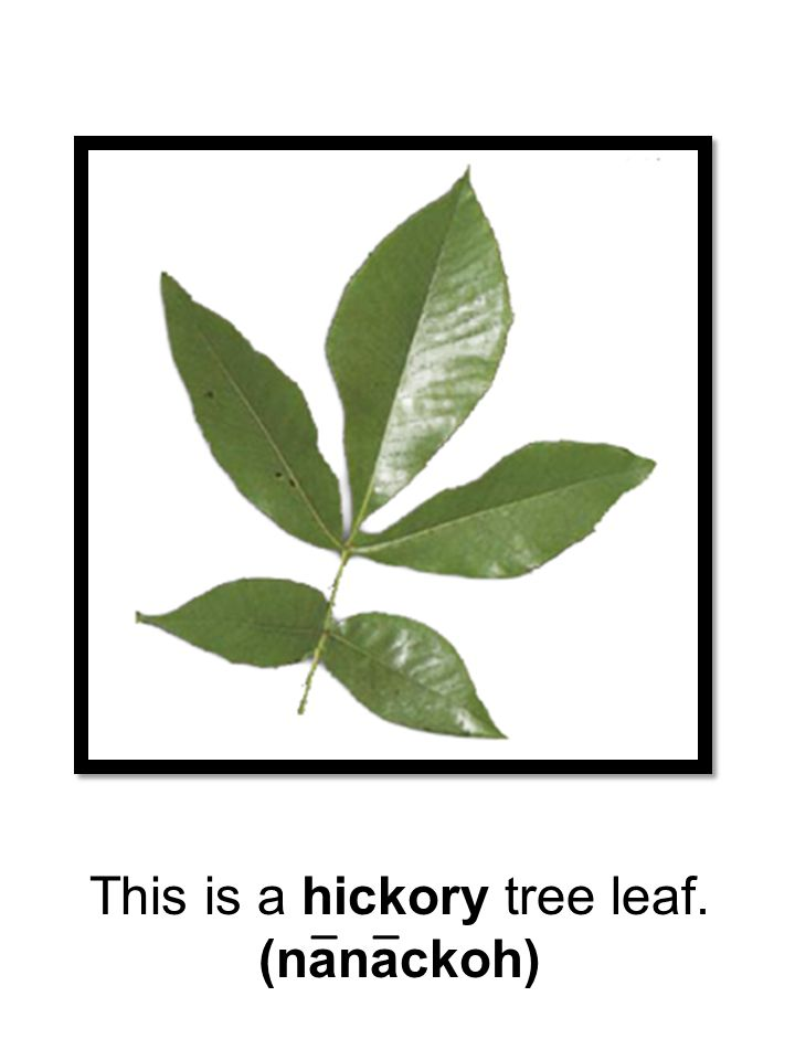 This is a hickory tree leaf.