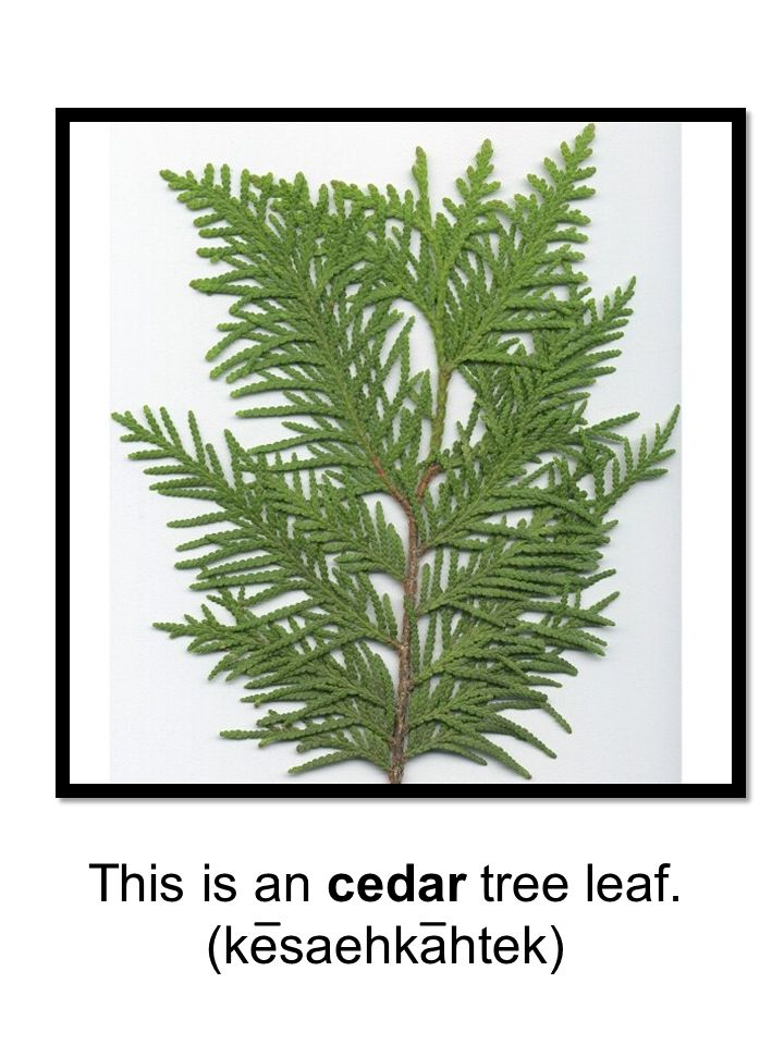 This is an cedar tree leaf.