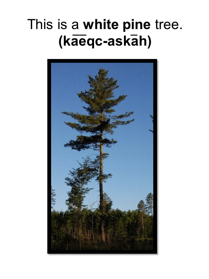 This is a white pine tree.