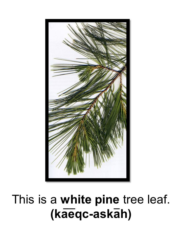 This is a white pine tree leaf.