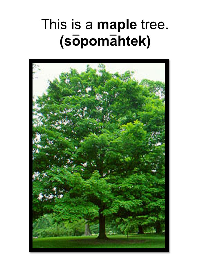 This is a maple tree. (sopomahtek) _