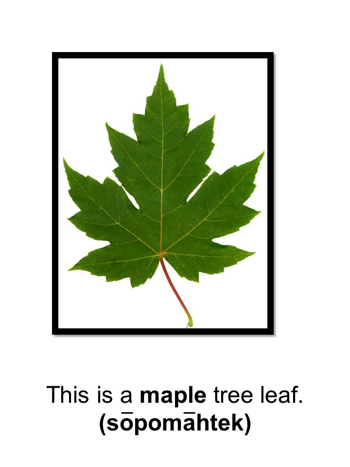 This is a maple tree leaf.