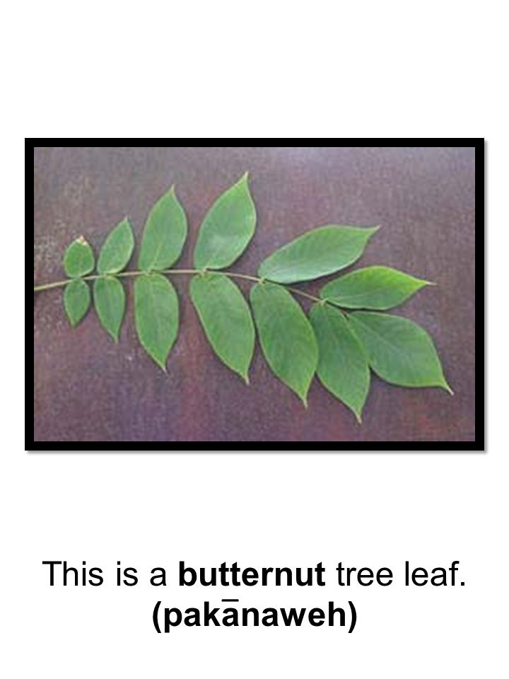 This is a butternut tree leaf.