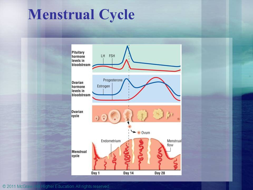 Menstrual Cycle Figure 14-4 The Menstrual Cycle