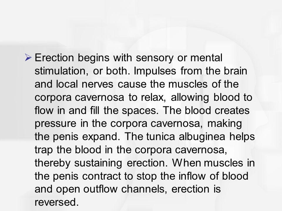 Erection begins with sensory or mental stimulation, or both