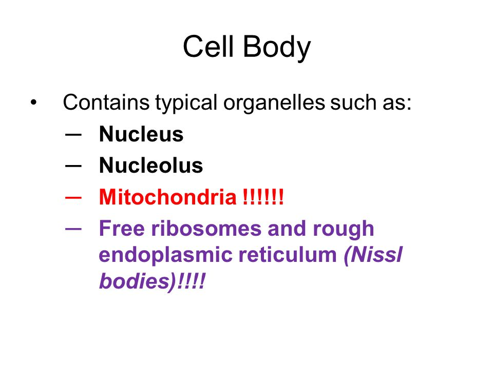 Cell Body Contains typical organelles such as: Nucleus Nucleolus