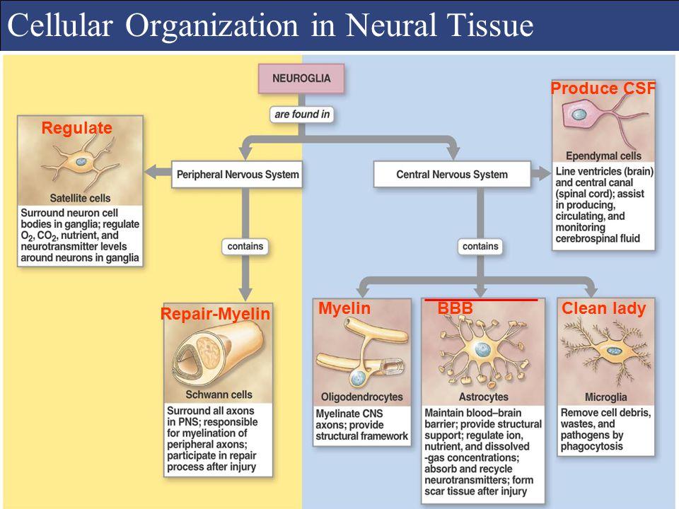 Cellular Organization in Neural Tissue