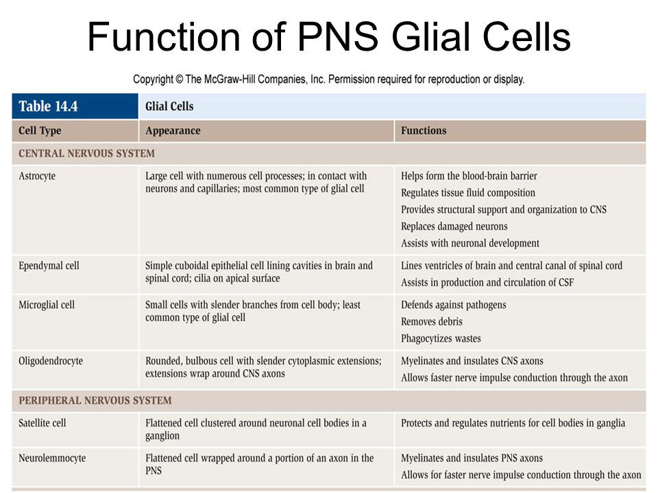 Function of PNS Glial Cells
