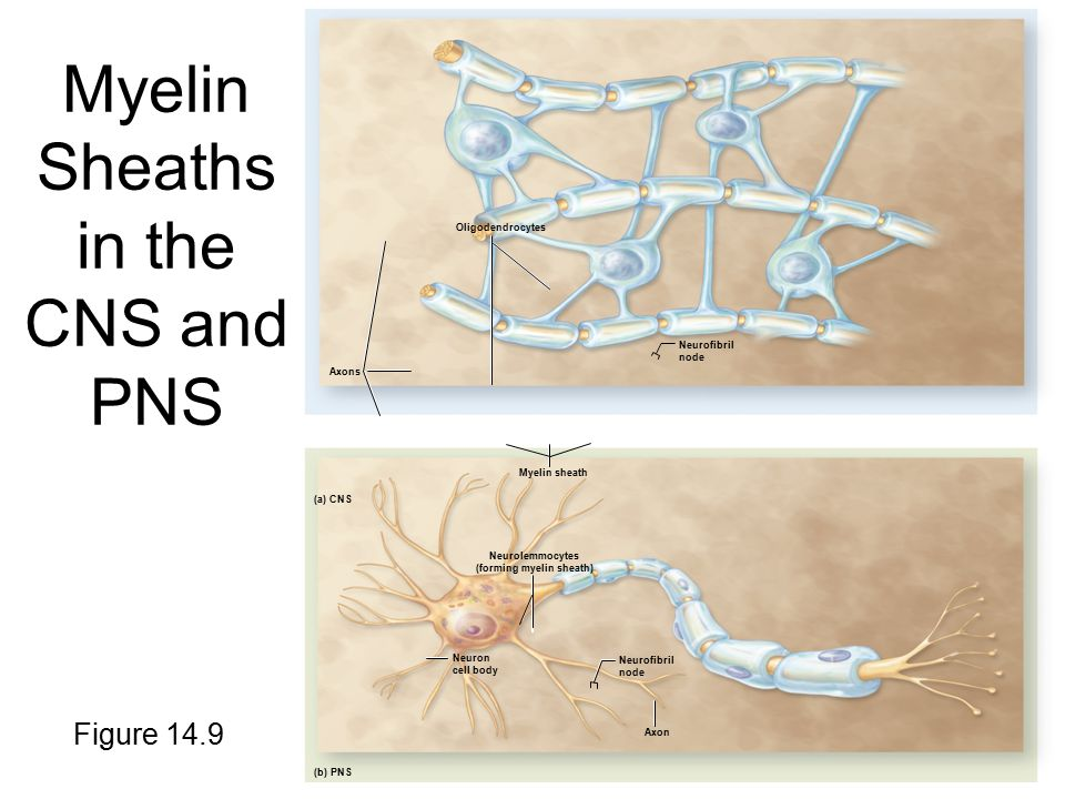 Myelin Sheaths in the CNS and PNS