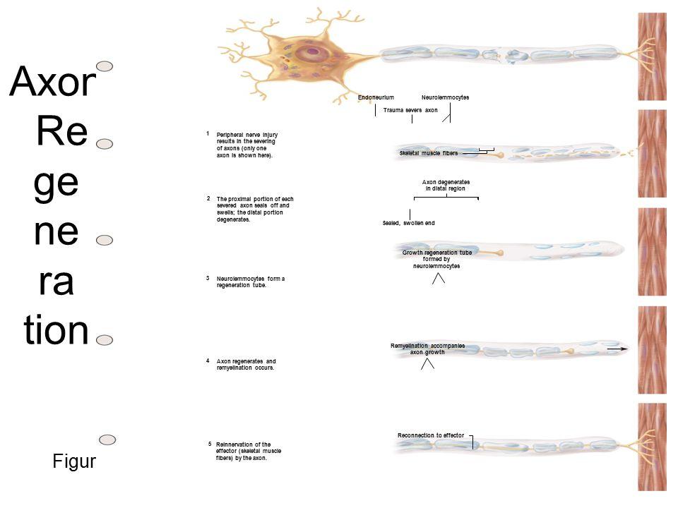 Growth regeneration tube Remyelination accompanies