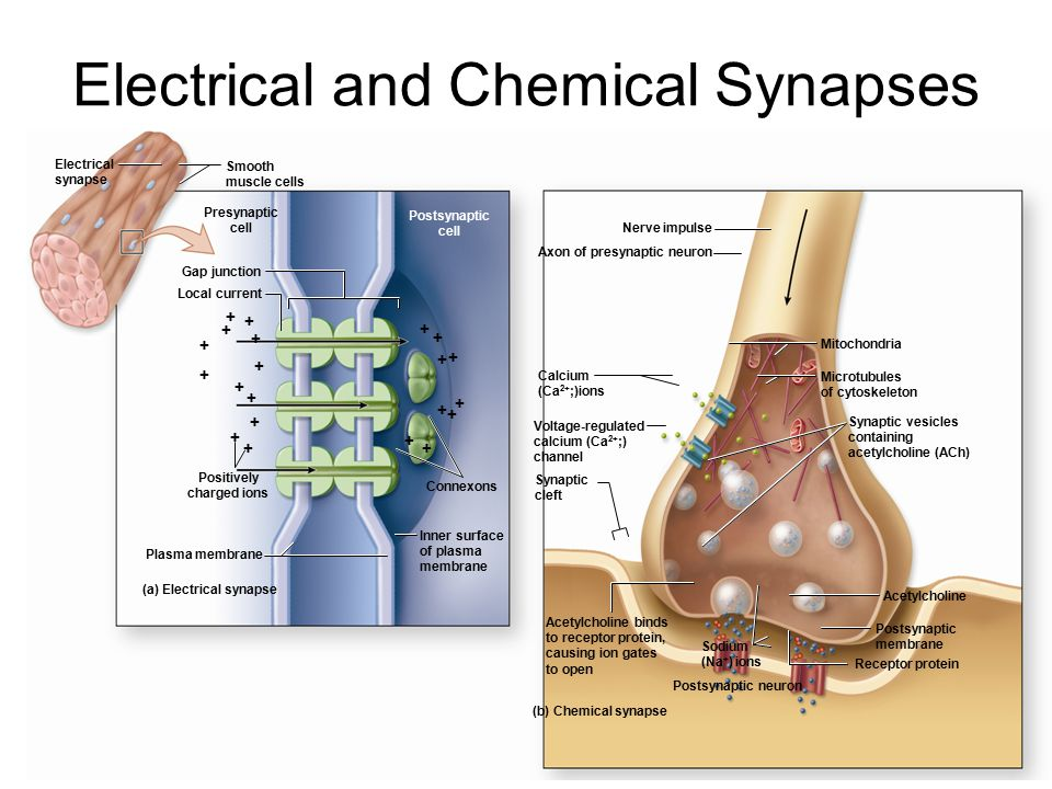 Electrical and Chemical Synapses