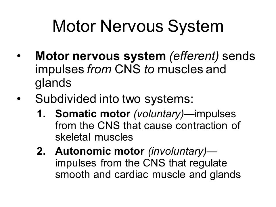 Motor Nervous System Motor nervous system (efferent) sends impulses from CNS to muscles and glands.