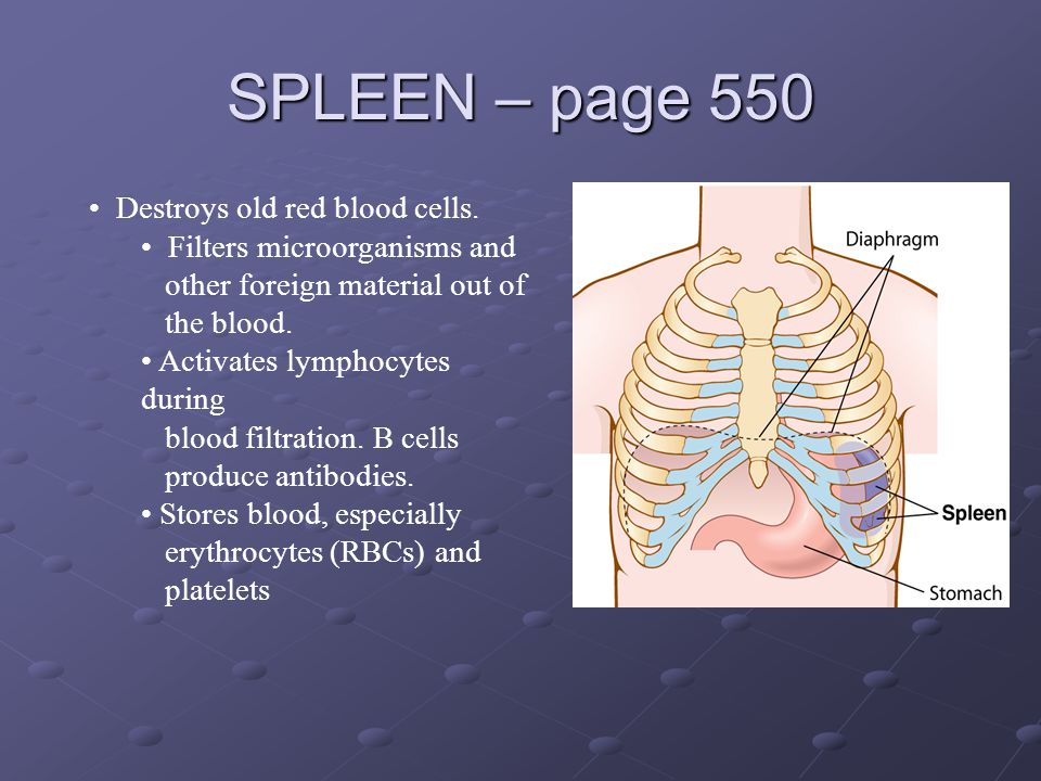 SPLEEN – page 550 Destroys old red blood cells.