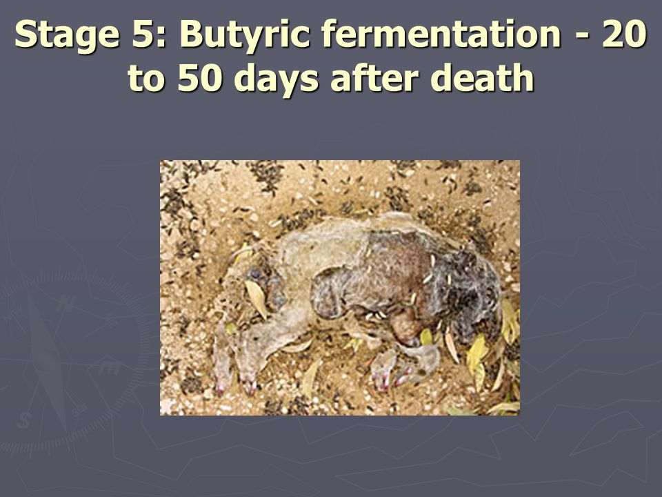 Stage 5: Butyric fermentation - 20 to 50 days after death