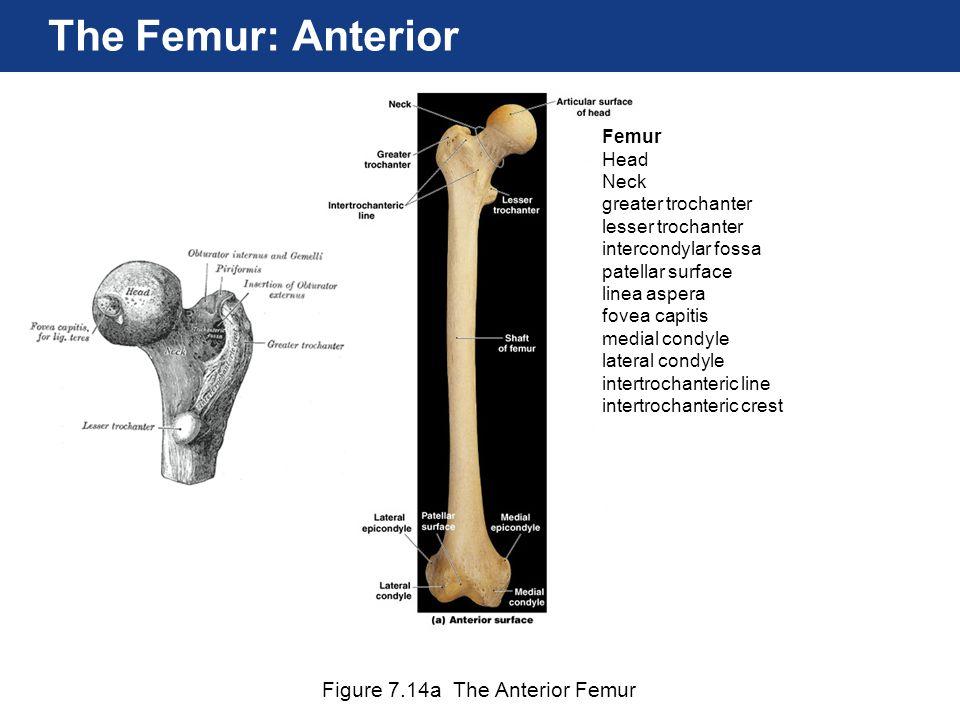 The Femur: Anterior Figure 7.14a The Anterior Femur Femur Head Neck